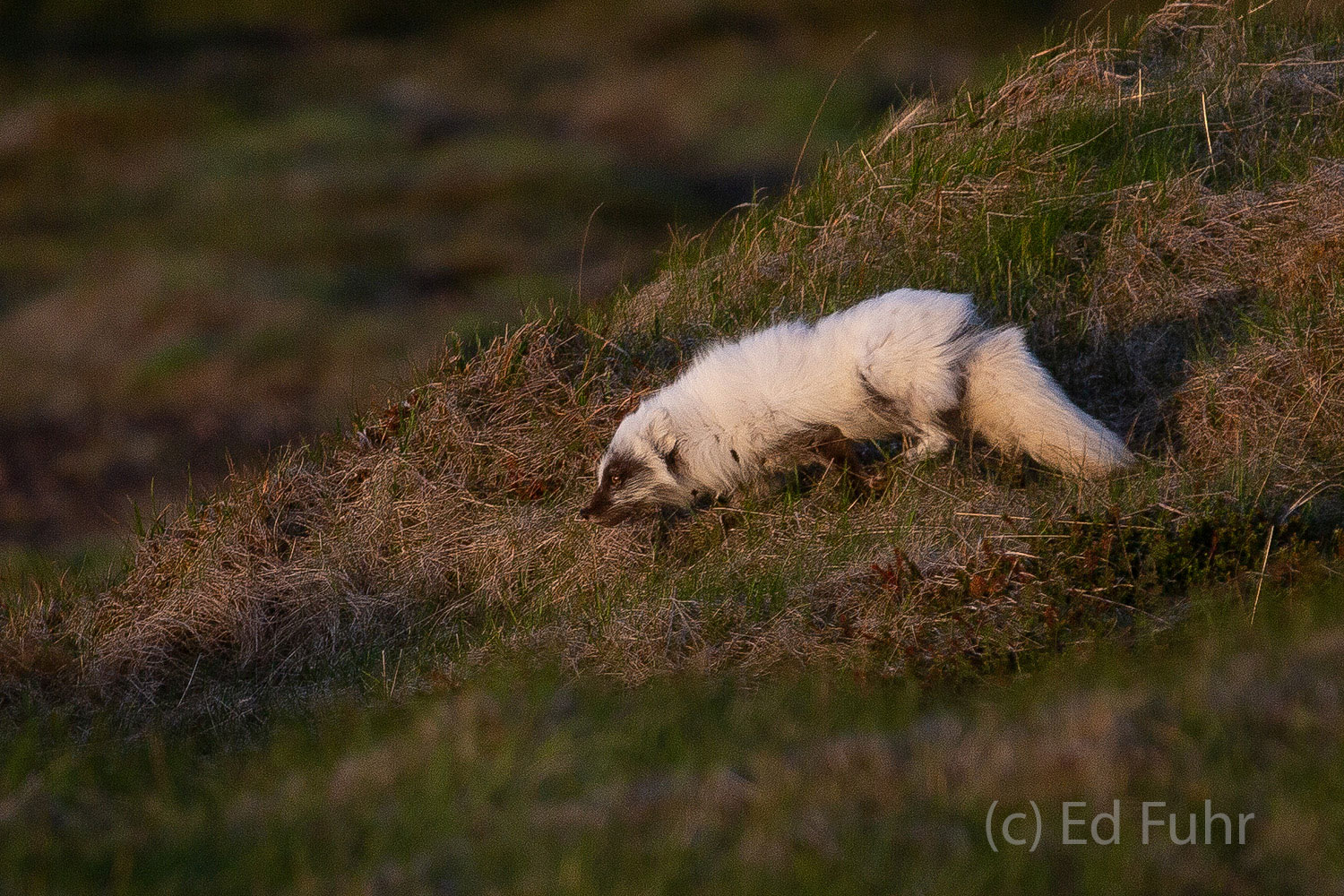 An arctic fox searches for dinner.