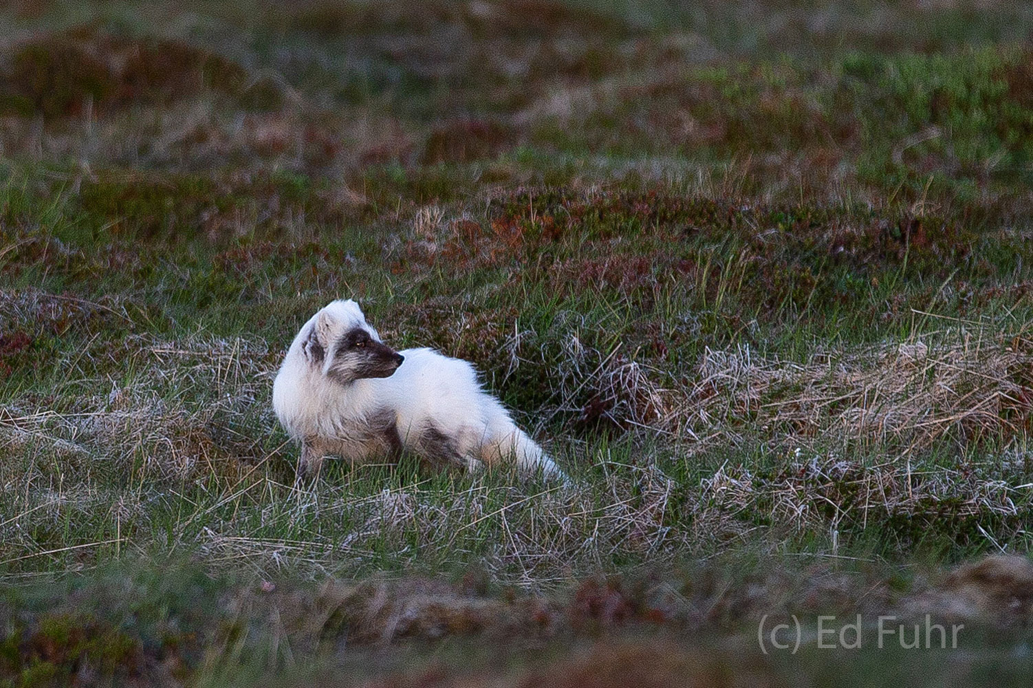 An arctic fox looks back as it hunts for food in Snaefellsness National Park.