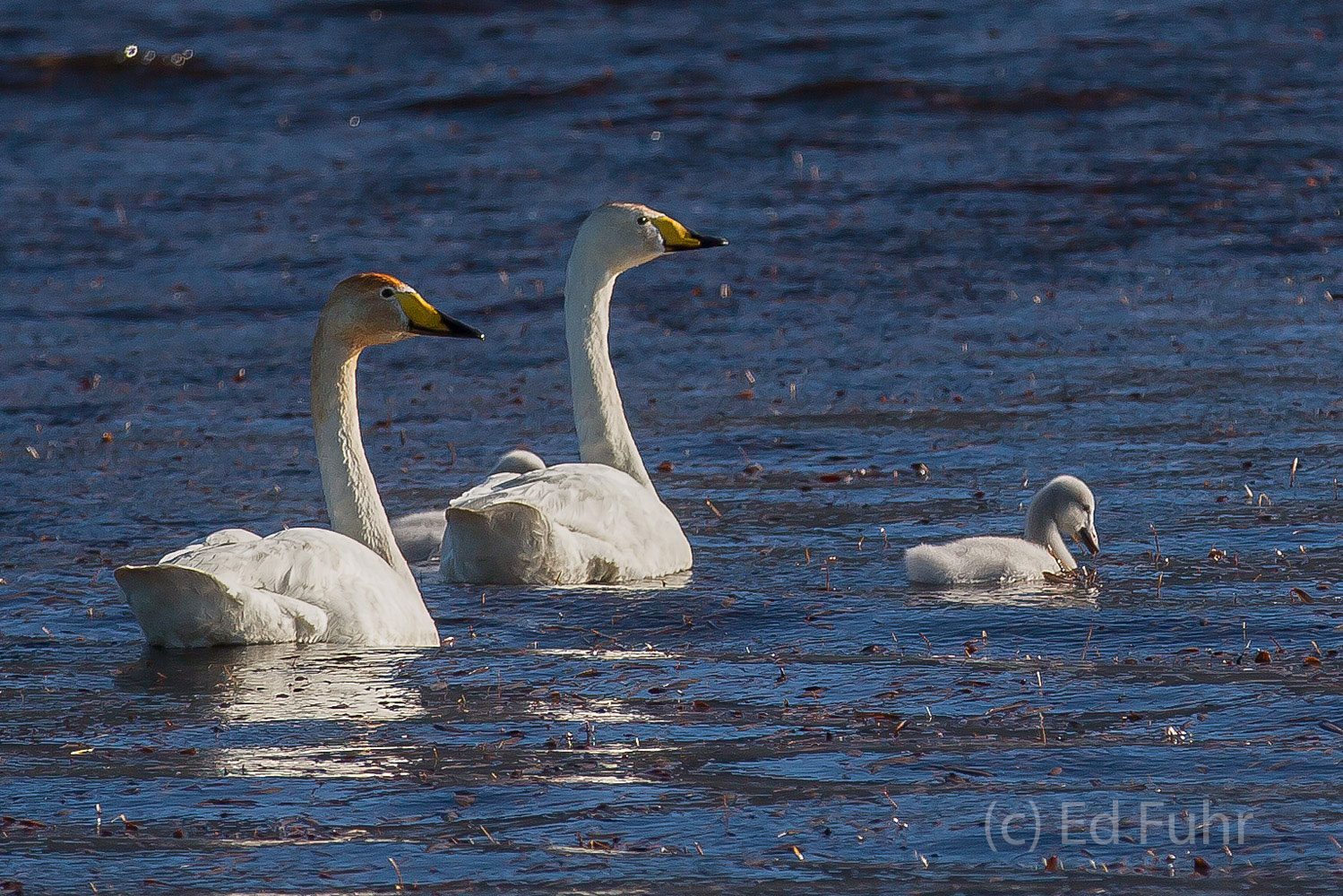 A couple of whooper swans, and their lone cygnet, paddle through the still waters of a shallow bay.  These swans are the only...