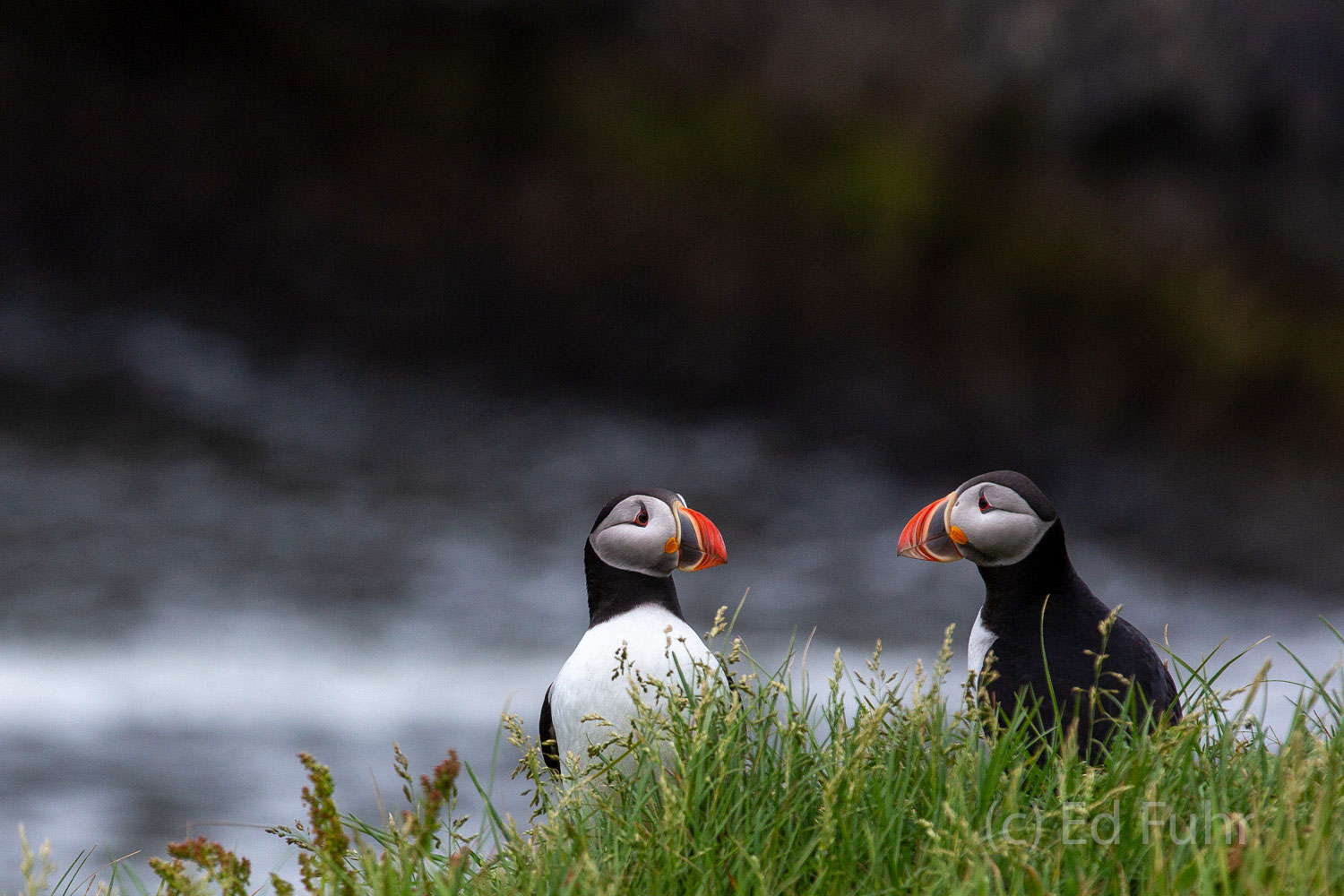 Two puffins exhange wild tales of life on the open ocean.   Puffins mate for life generally and there is much for them to catch...