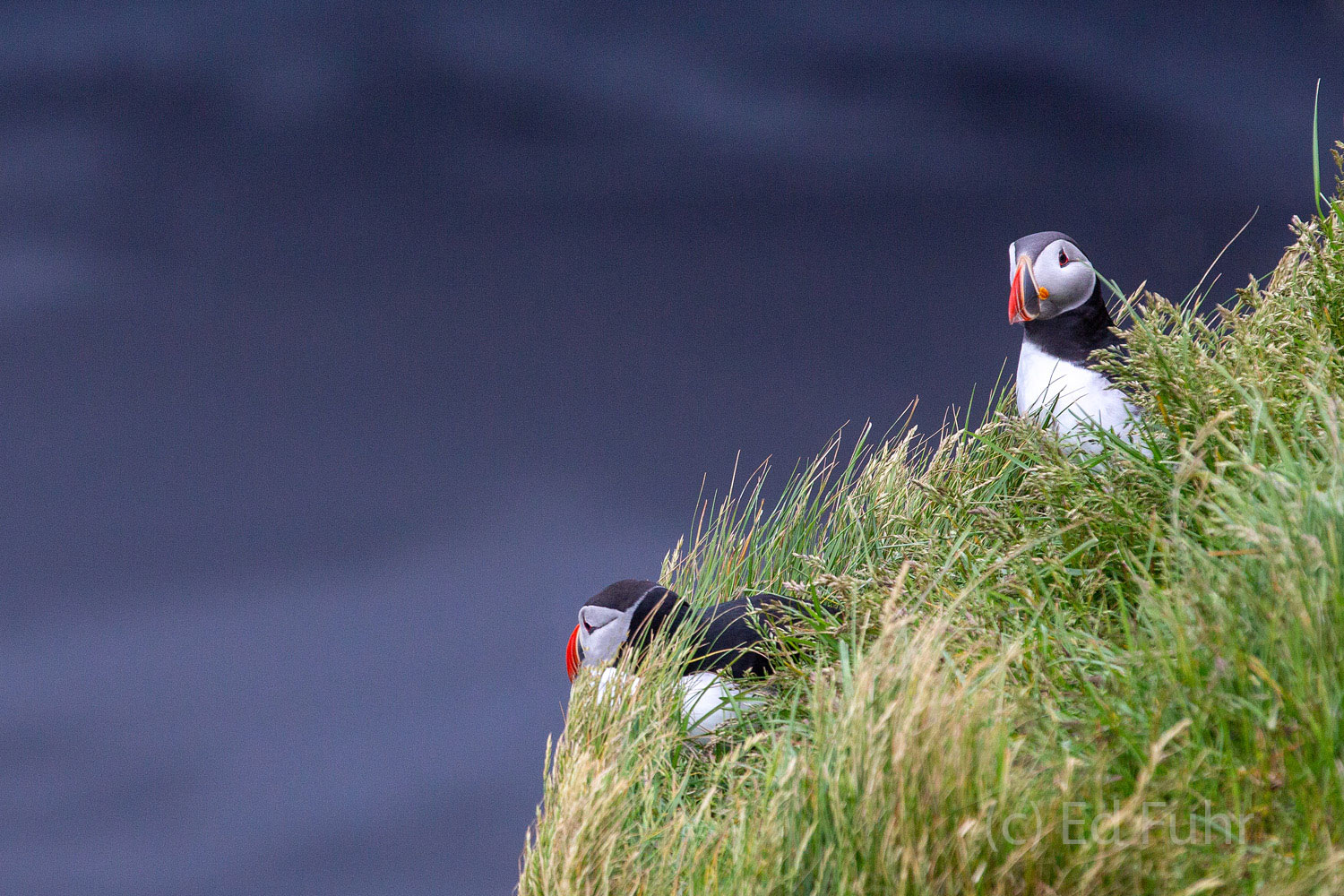 A couple of puffins preen and keep a lookout on the ocean below where they spend much of their life.