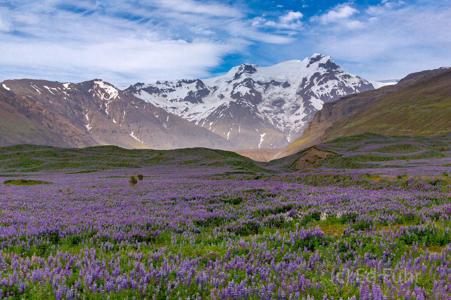 Numerous great fields of lupines can be found in the fields below Skaftafell National Park.