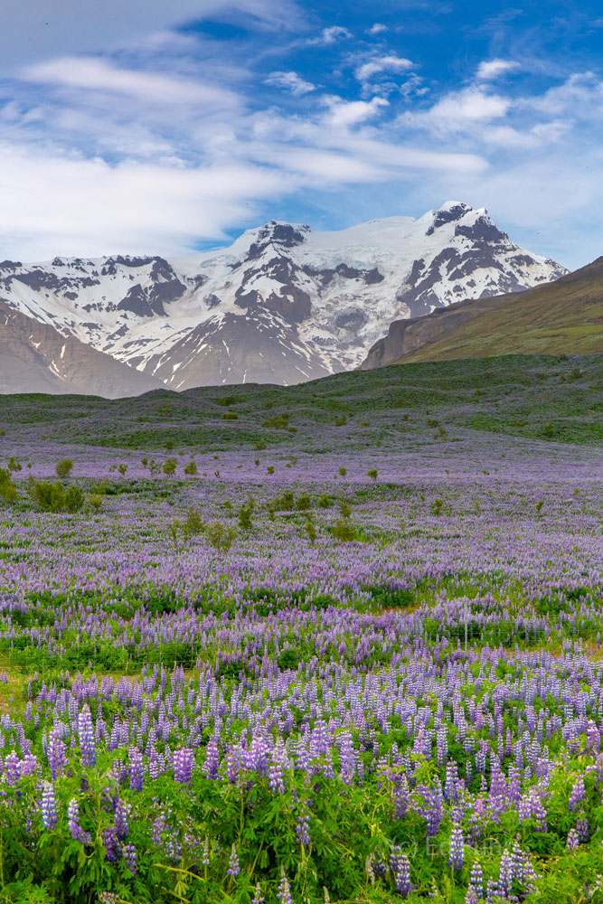 Lupines and glaciers merge in Skaftafell National Park, a surreal juxtaposition of spring's hope and winter's eternity.