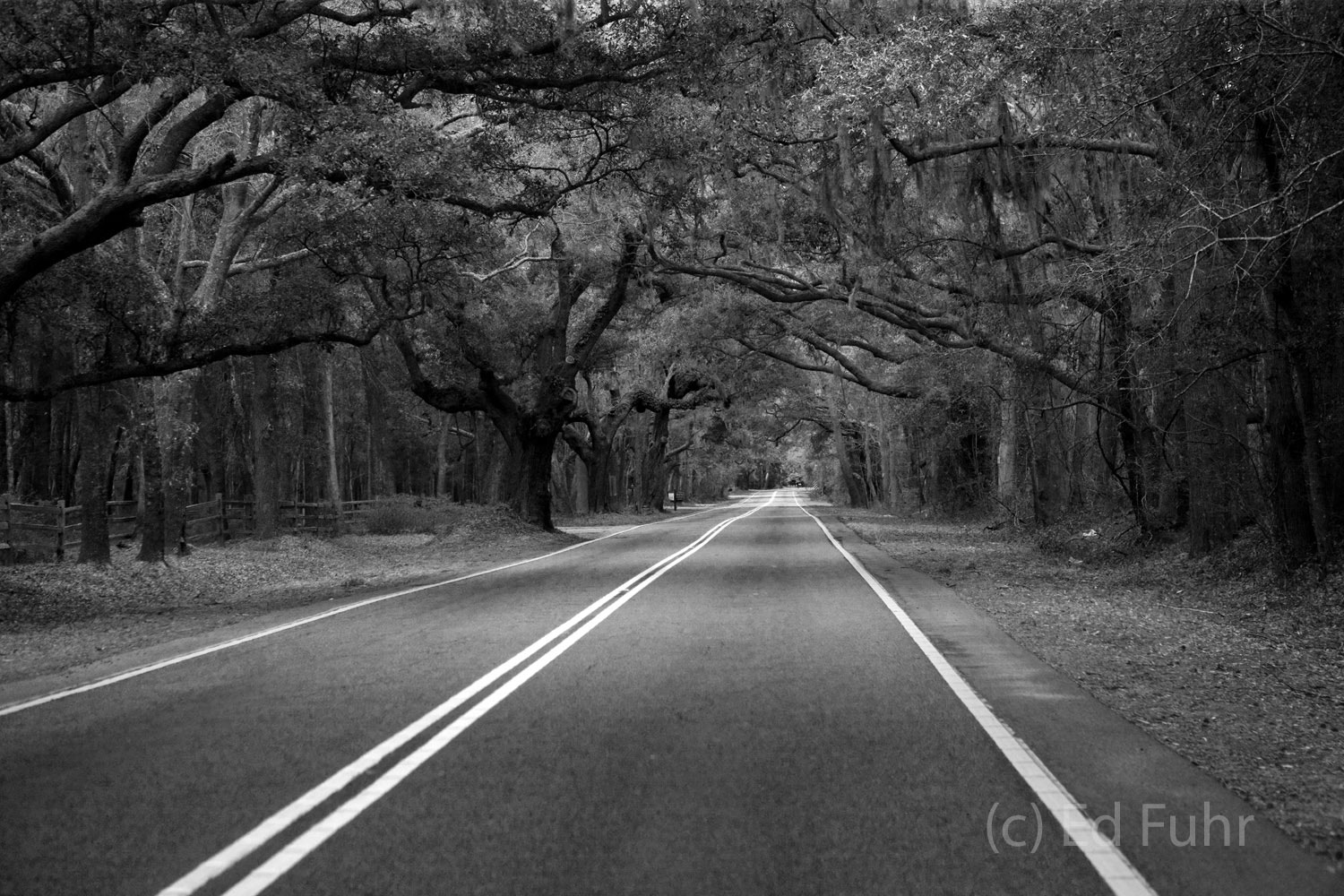 Oaks and moss cover the road into St. John's Island outside of Charleston, SC.