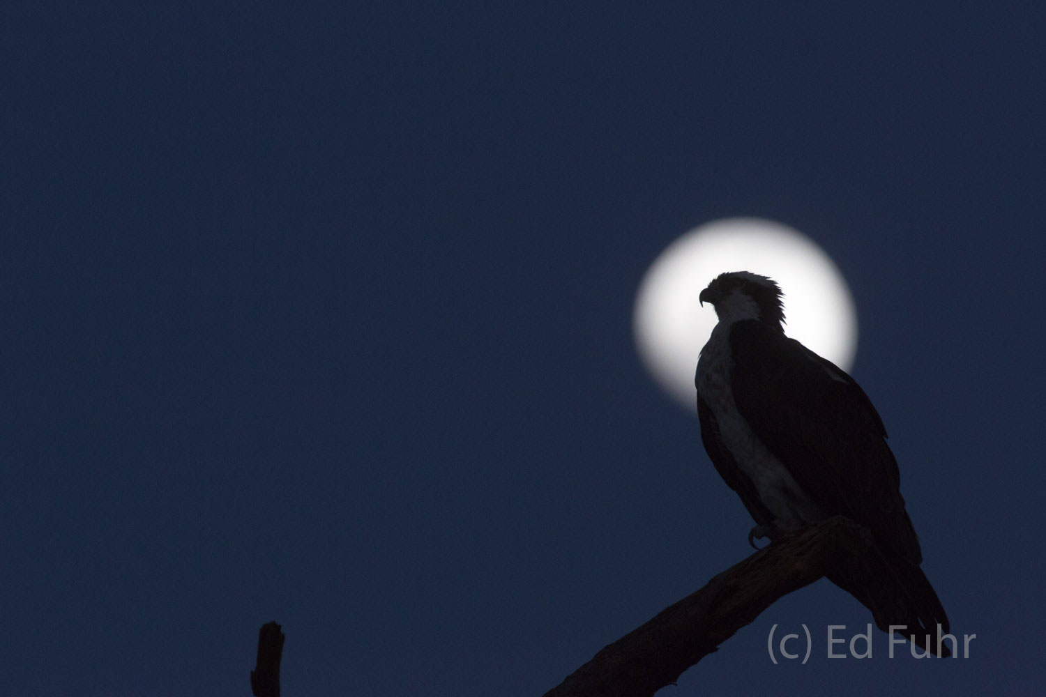 Under a nearly full moon, a male osprey watches over the marsh.  His mate nests nearby and in the early dawn he will be flying...