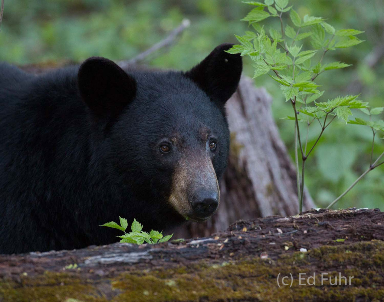 A black bear looks up from his summer foraging for roots, rodents and grubs.