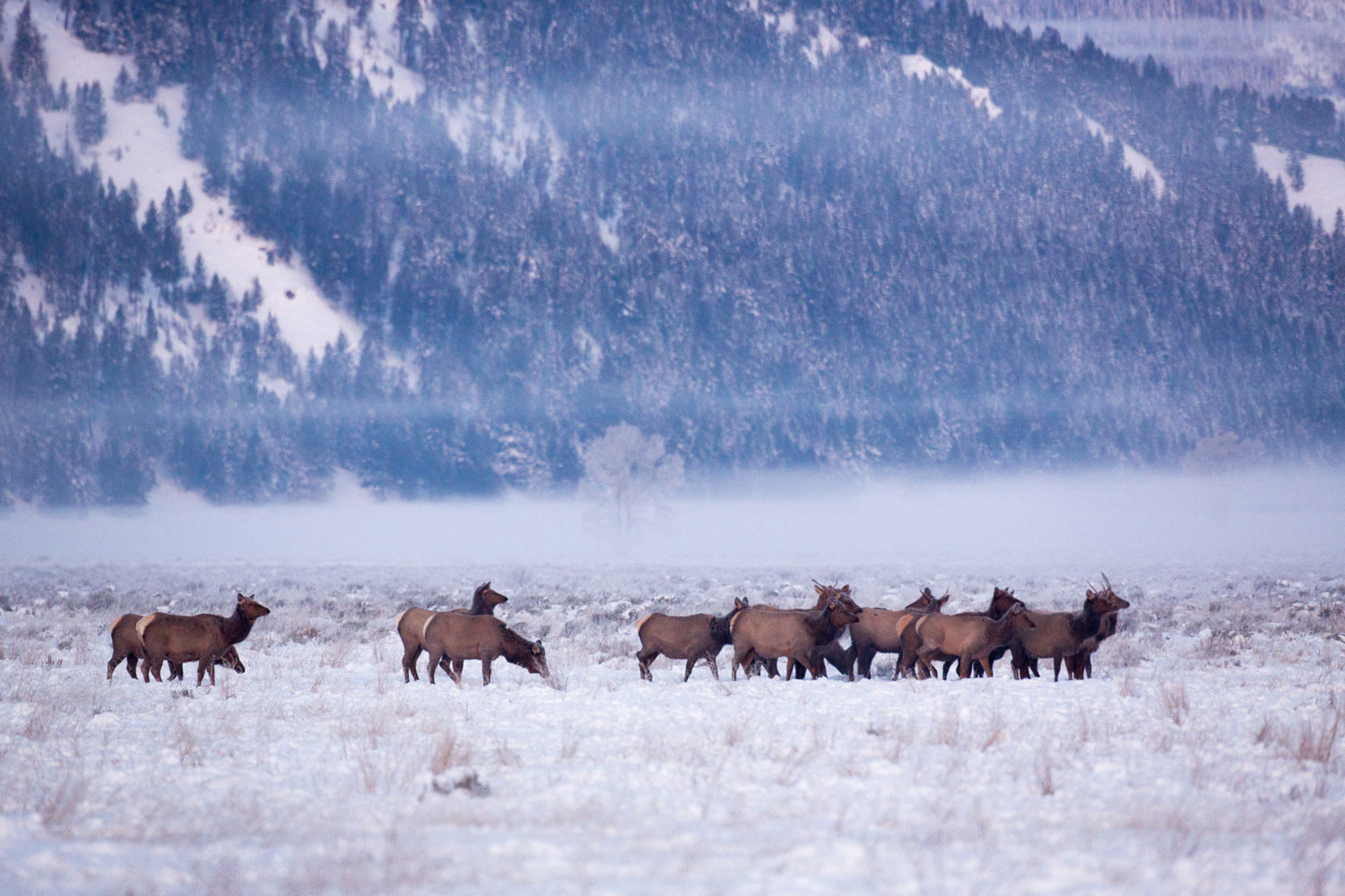 A herd of elk warily crosses the open meadow shortly after sunrise on a bitterly cold winter morning.
