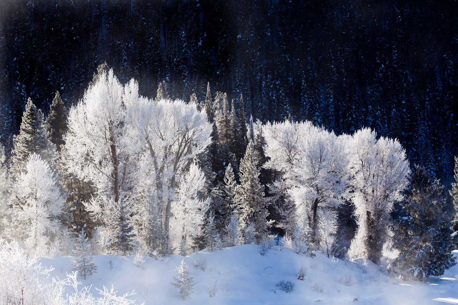 Cottonwoods coated in heavy frost stand silhouetted in the shadow of Signal Mountain.