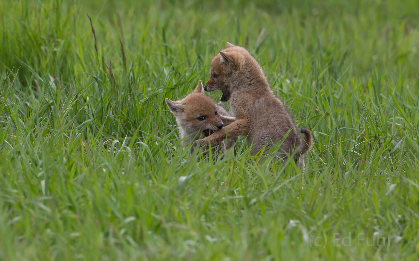 Two pups play while mom hunts for food.