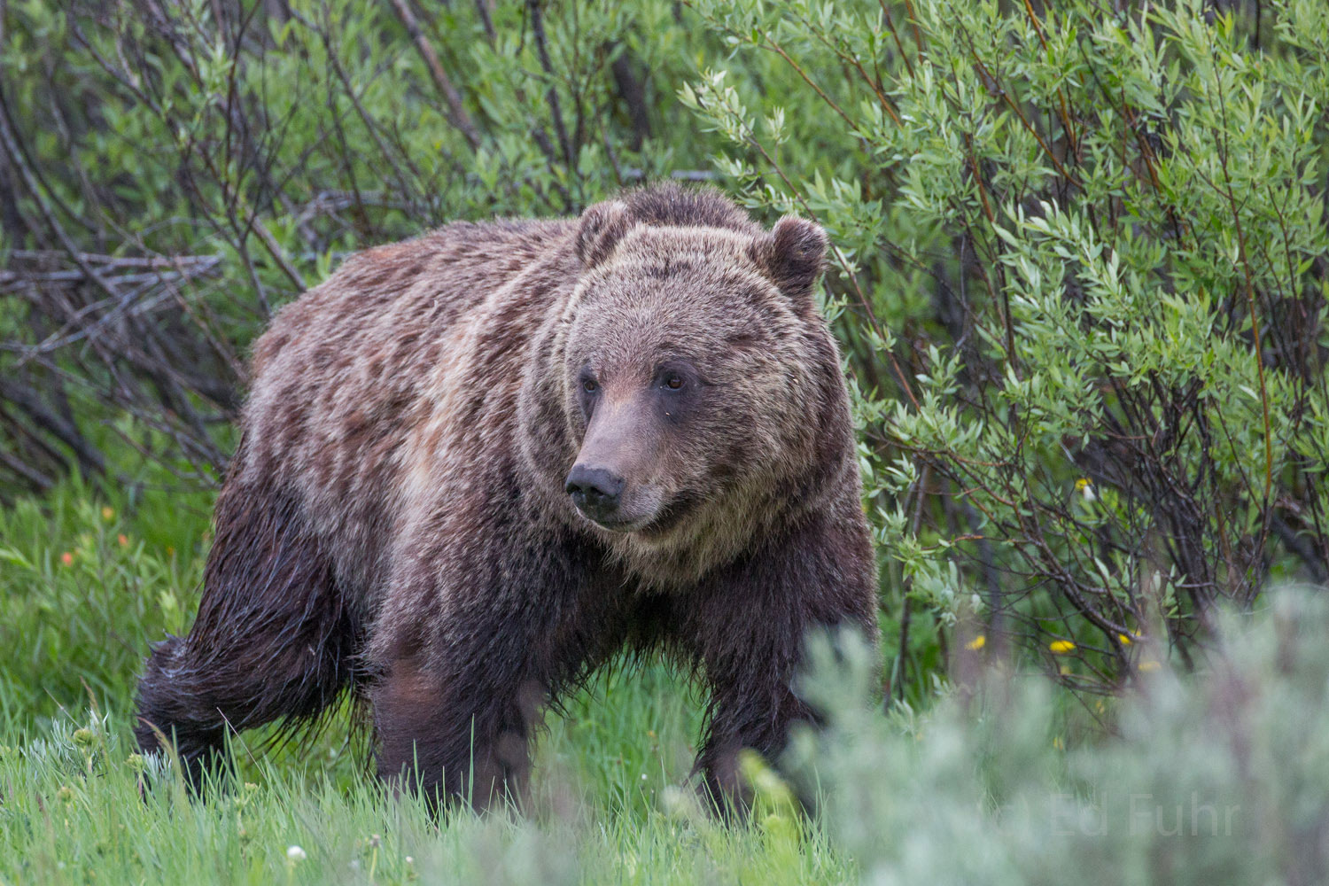 Grizzly 760 moves along the willow hedges that abut the sage and grass meadows where he feeds.