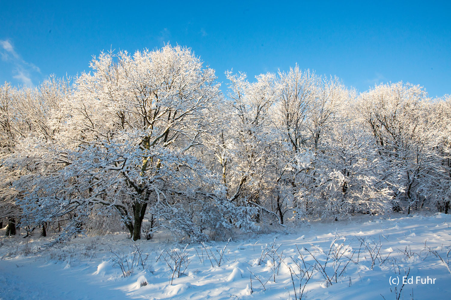A grove of oaks and maples stand under heavy snow along a roadside ridge above Skyline Drive.