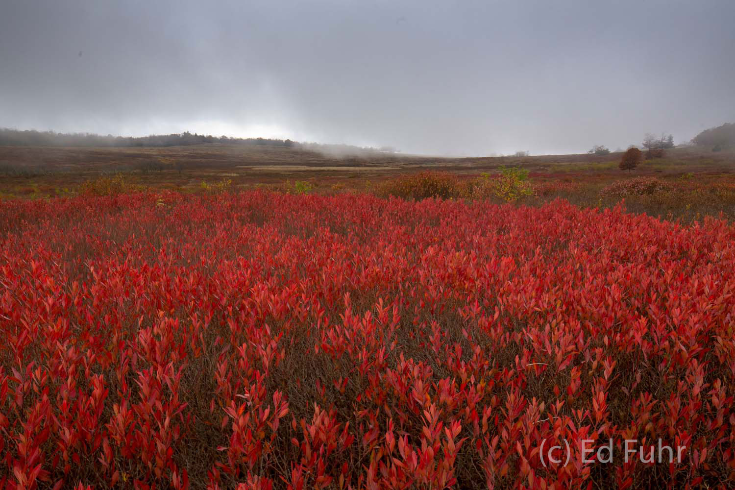 A large swath of blueberry bushes in Big Meadows, in their autumn red, hunker down as a storm approaches from the west.  It is...