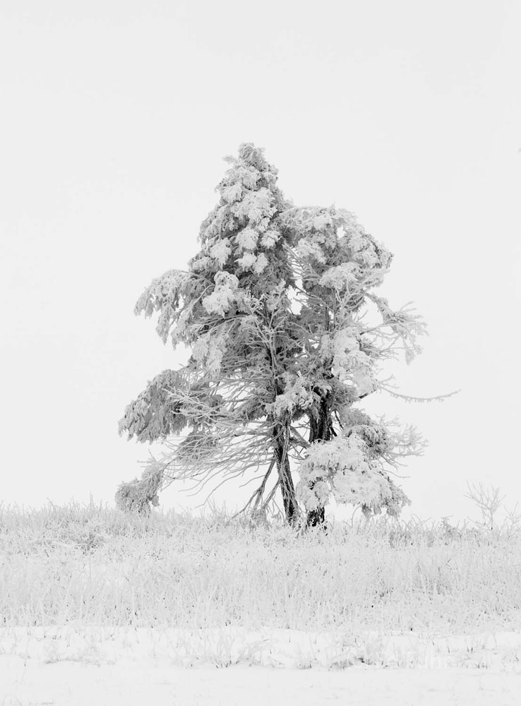 Isolated in this image, a Pine leans from the force of decades of winds and storms.