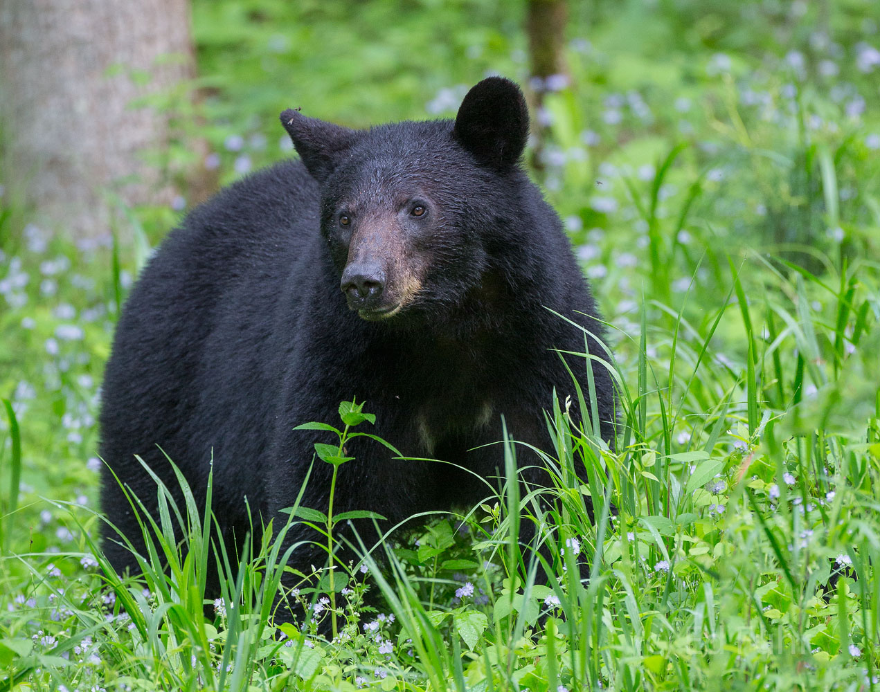 cades cove, loop road, bear, photo