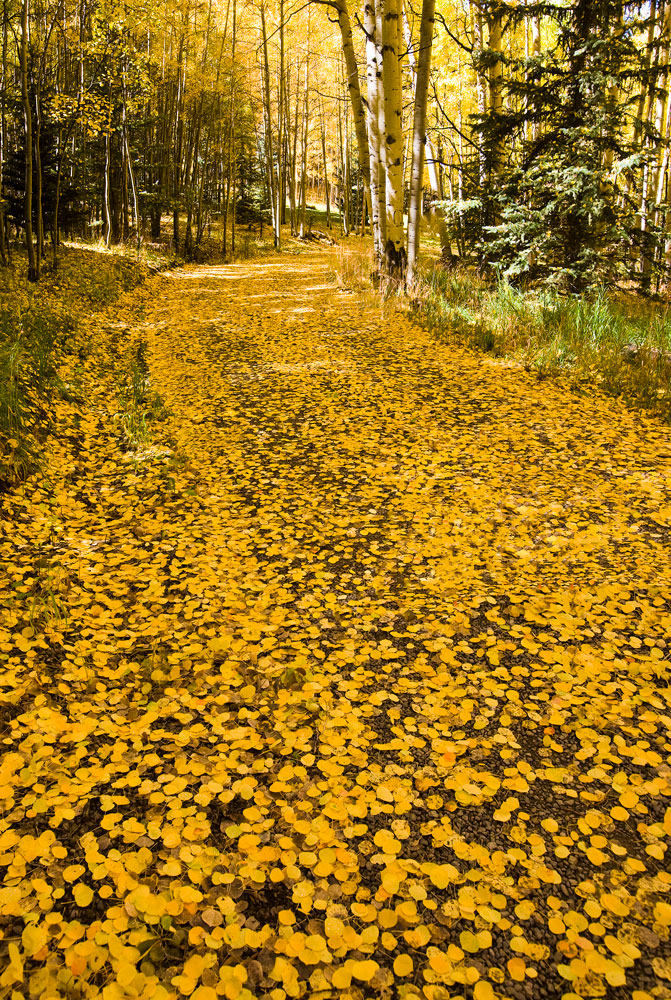Overnight winds brought down a blanket of aspen leaves, creating a magical carpet on this entrance to Last Dog Ranch.