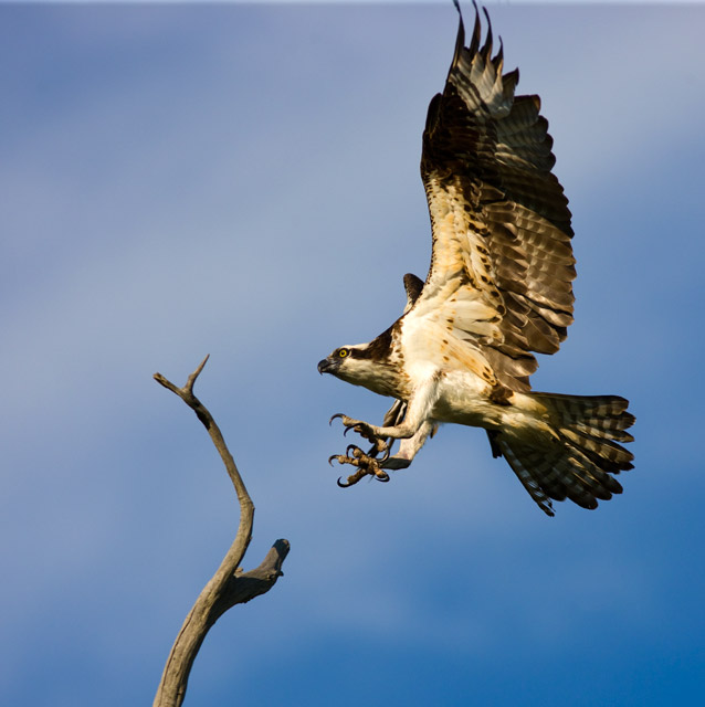 osprey, kiawah, south carolina, photo
