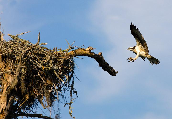osprey, kiawah, south carolina, nest, photo