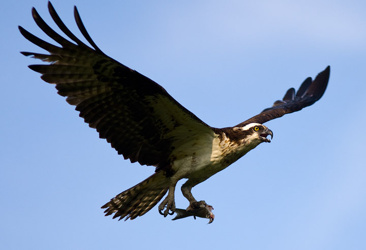 osprey, flight, photo