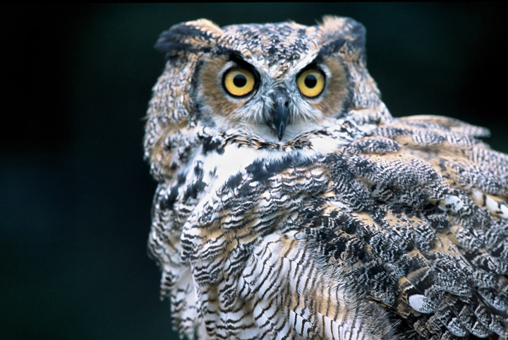 great horned owl, photo