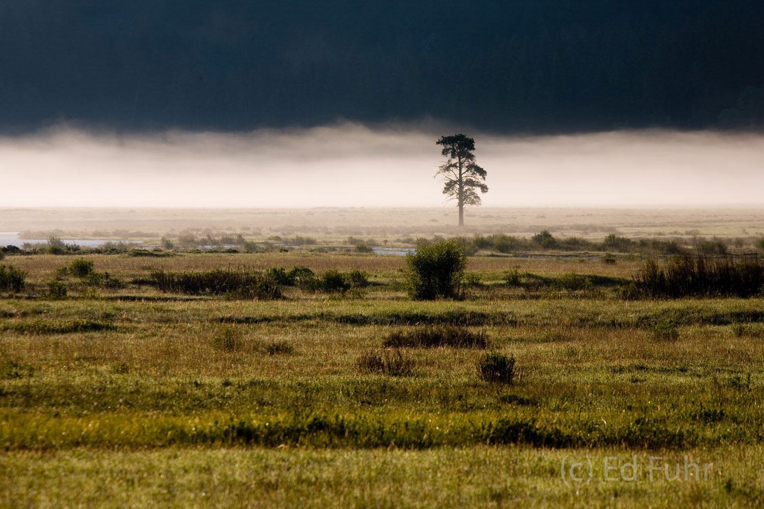 A lone tree rises through the fog bank over the Lamar River.