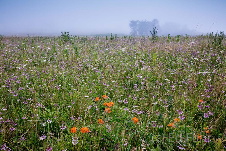 shenandoah national park, wildflowers, summer, image, photographs, photo