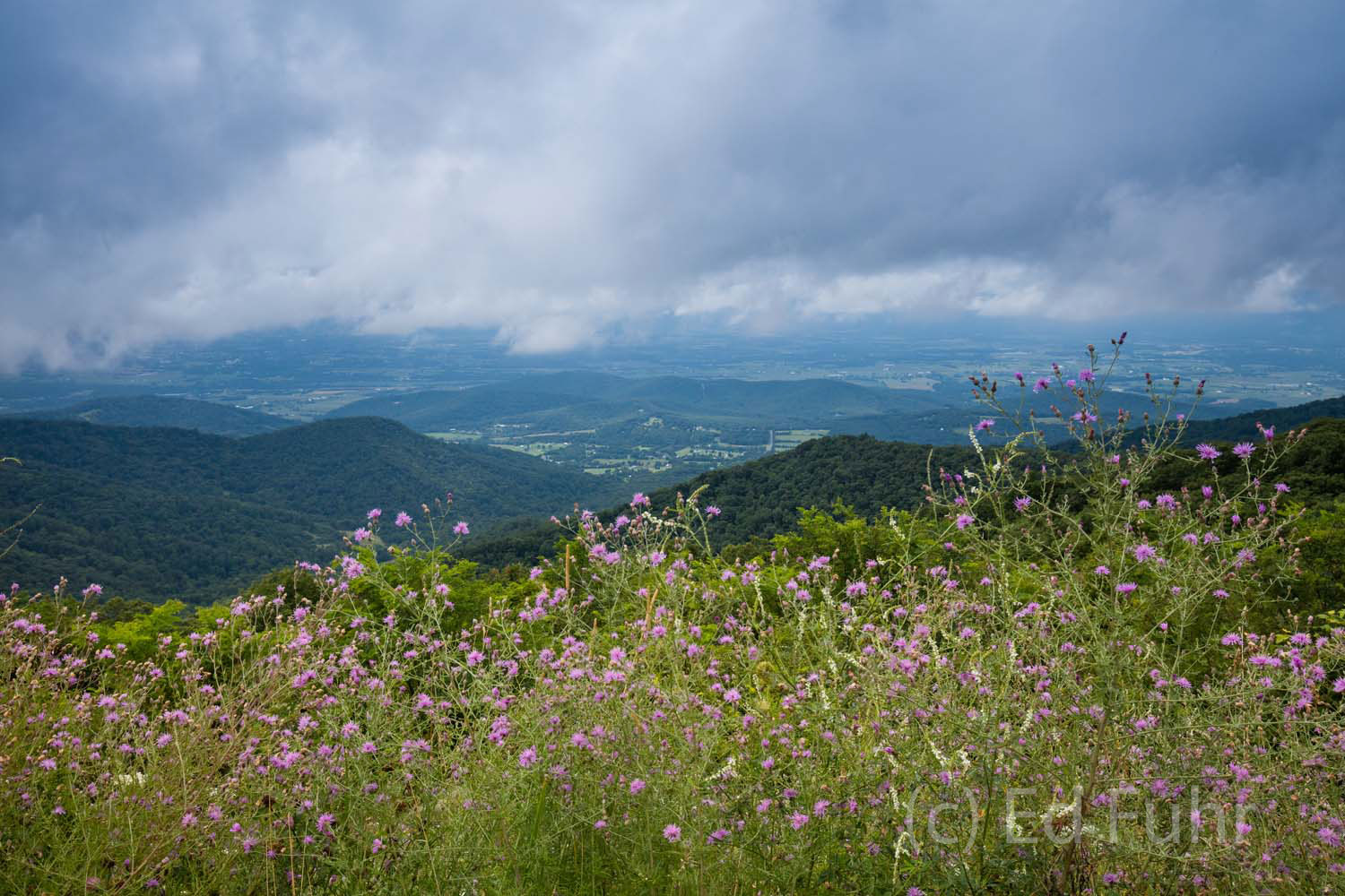 shenandoah national park, wildflowers, summer, image, photographs, photo