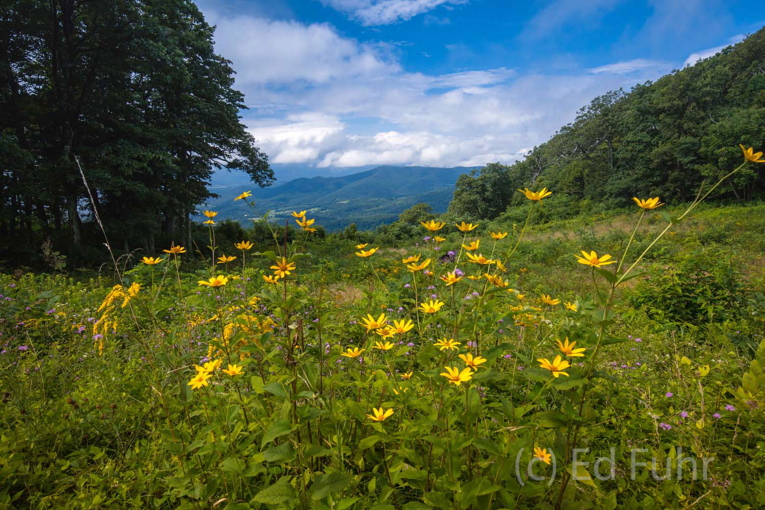 Yellow helianthus wildflowers bloom at Jewell Hollow Overlook.