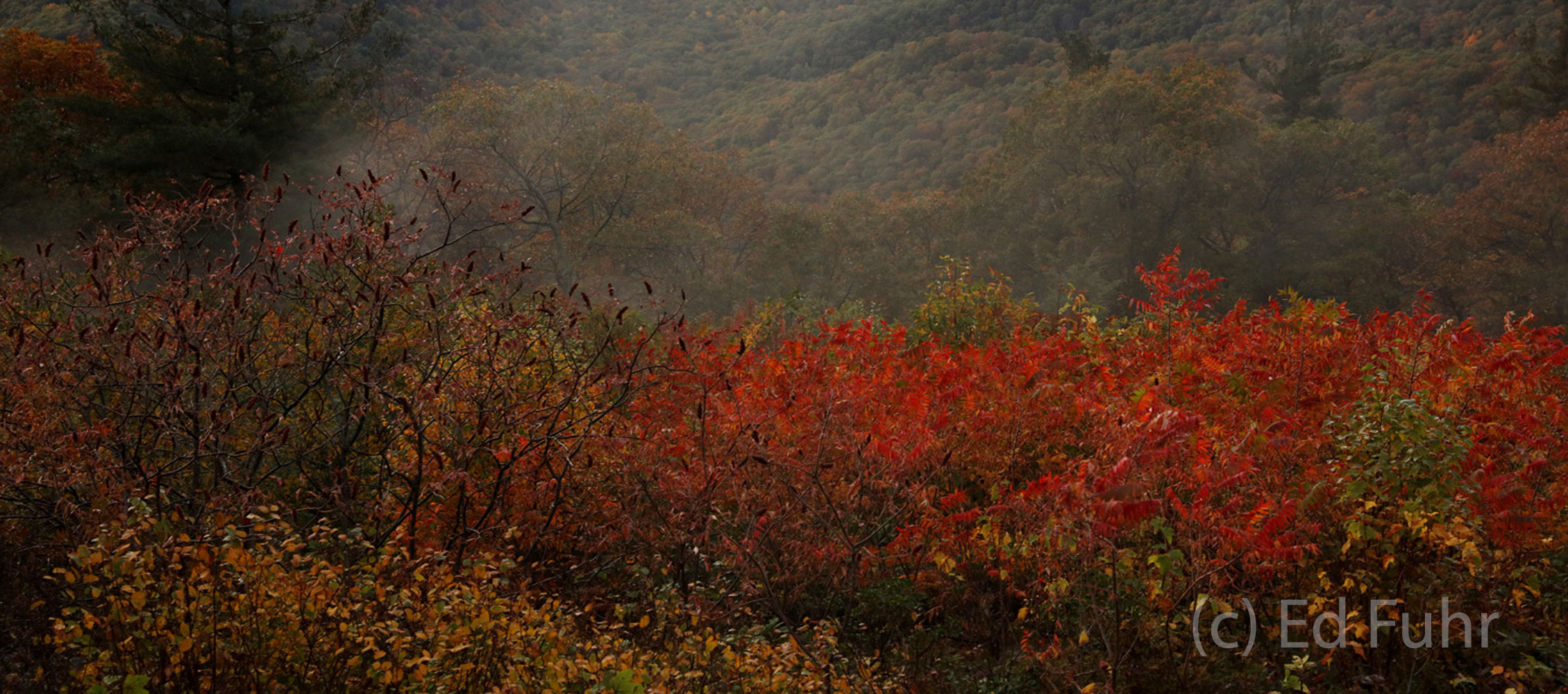 A colorful hillside of red sumac and fog on a late autumn day.