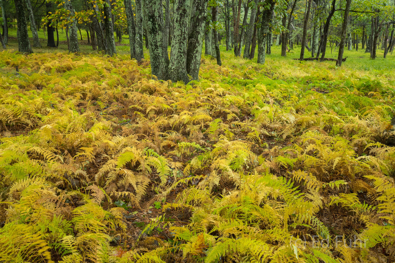 Shenandoah has numerous tremendous patches of ferns that in summer exhibit all shades of green but in fall, as the temperatures...