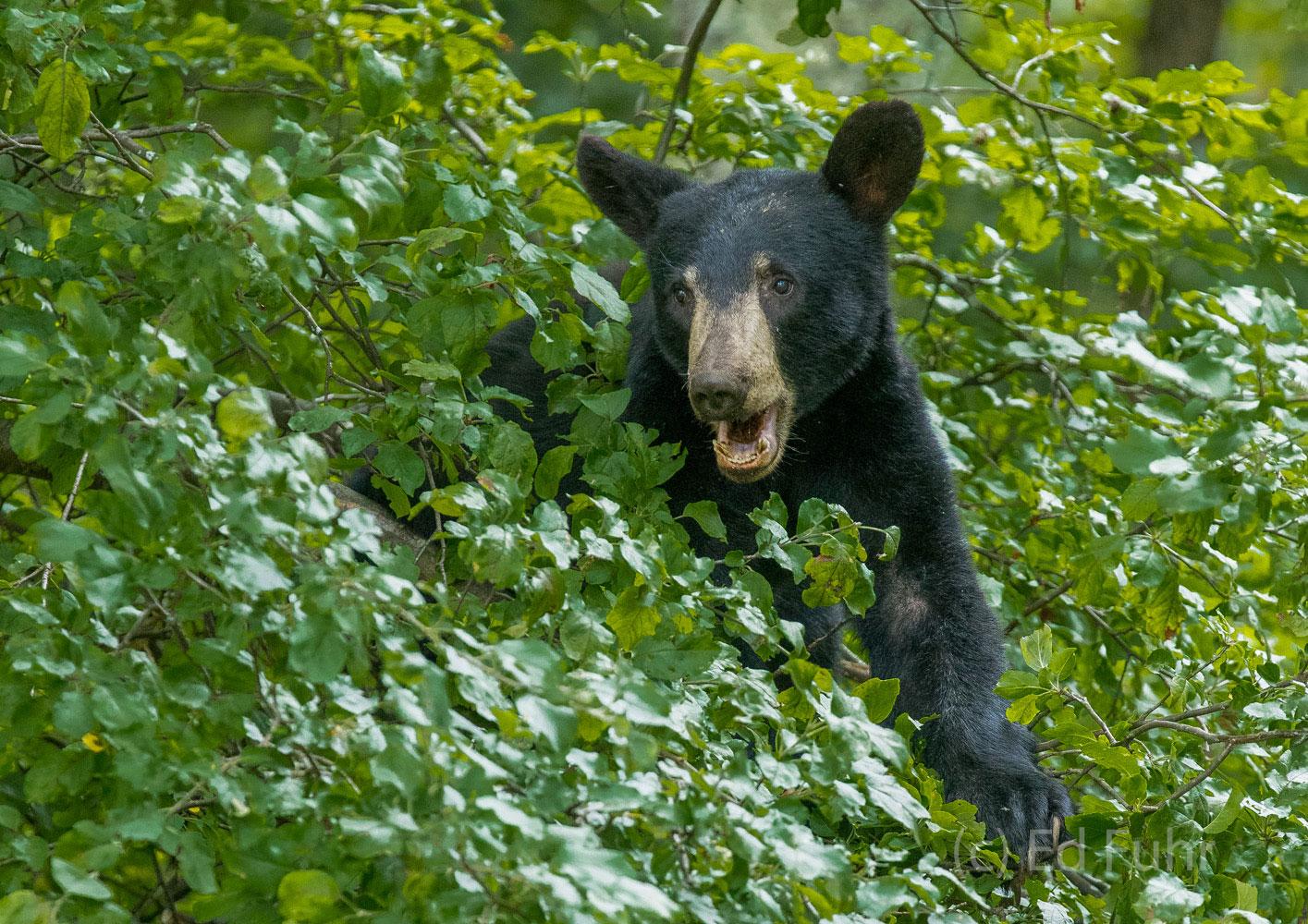 A black bear feeds near Loft Mountain.