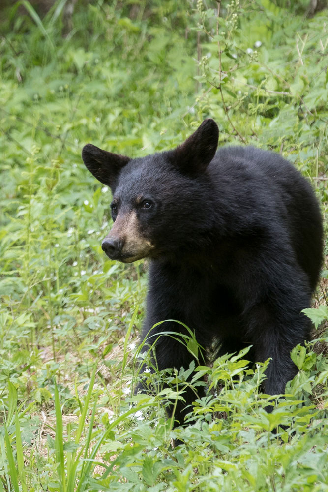 A black bear is intrigued by sounds only he can hear from the slopes below.