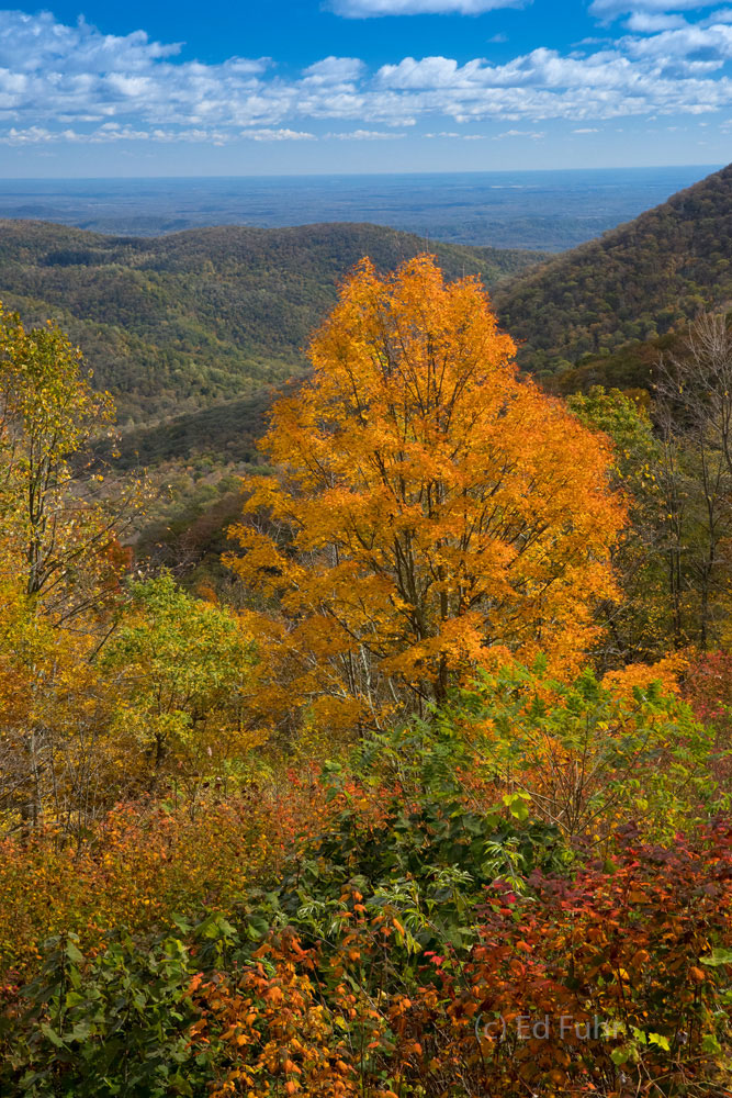 This maple never disappoints, turning a vibrant orange, every fall on an eastern slope north of Thorofare Mountain.