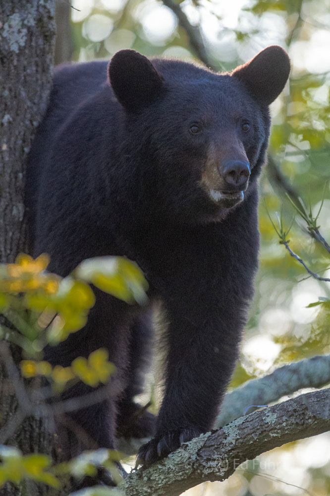 A large black bear peers down from his tree limb.
