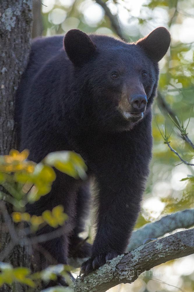 Shenandoah national park, image, photograph, black bear, tree, photo