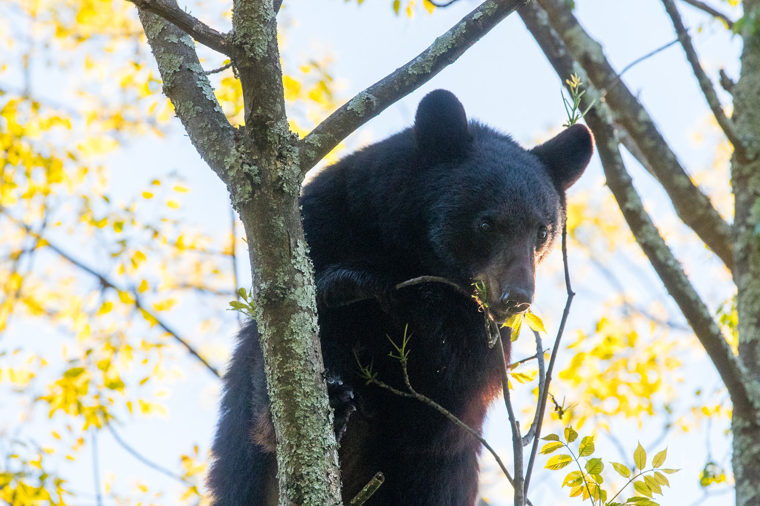 Shenandoah national park, image, photograph, black bear, tree, photo