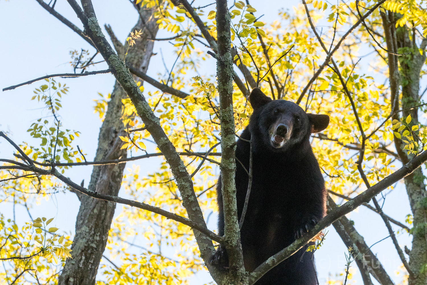 A black bear stares down from the tree where he has been feeding on spring's early growth.