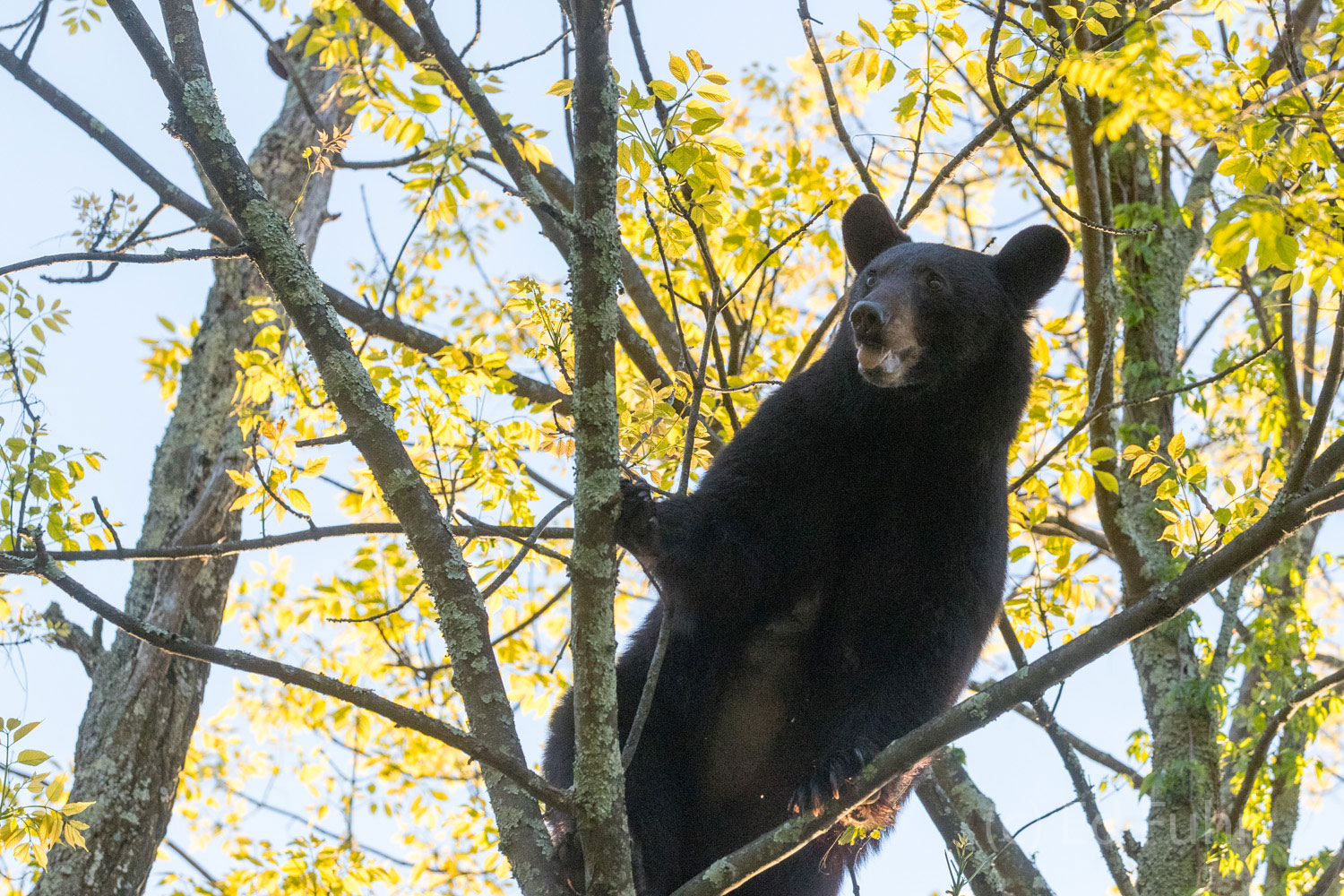 Through a moon roof I manage a quick photo and pray this bear does not fall!
