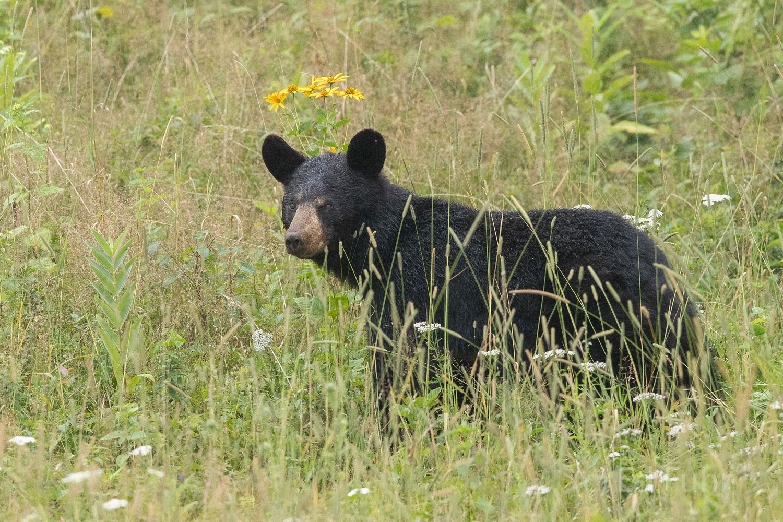 A black bear looks across the meadow.