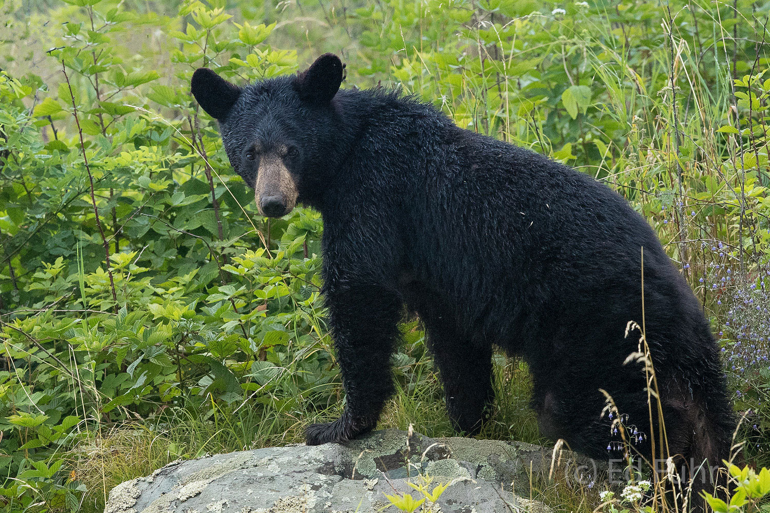 Shenandoah national park, image, photograph, black bear, big meadows, photo