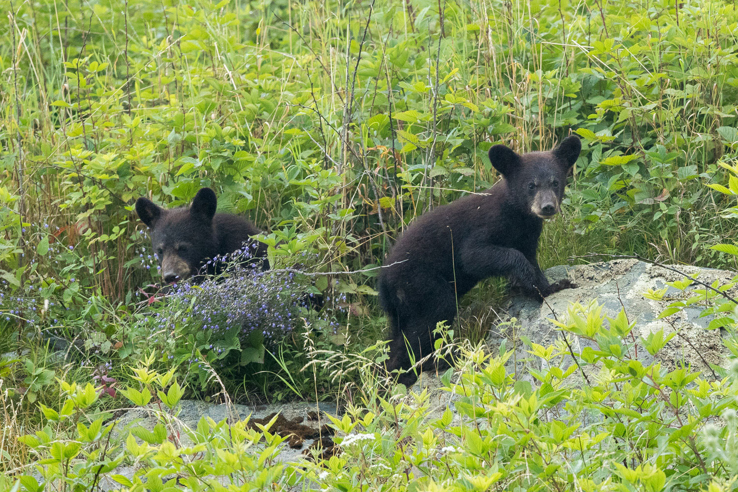 Two black bear cubs alternate between foraging and play while mom leads them from the meadow.