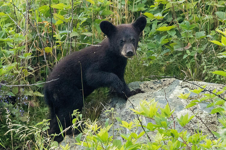 Shenandoah national park, image, photograph, black bear, cub, photo