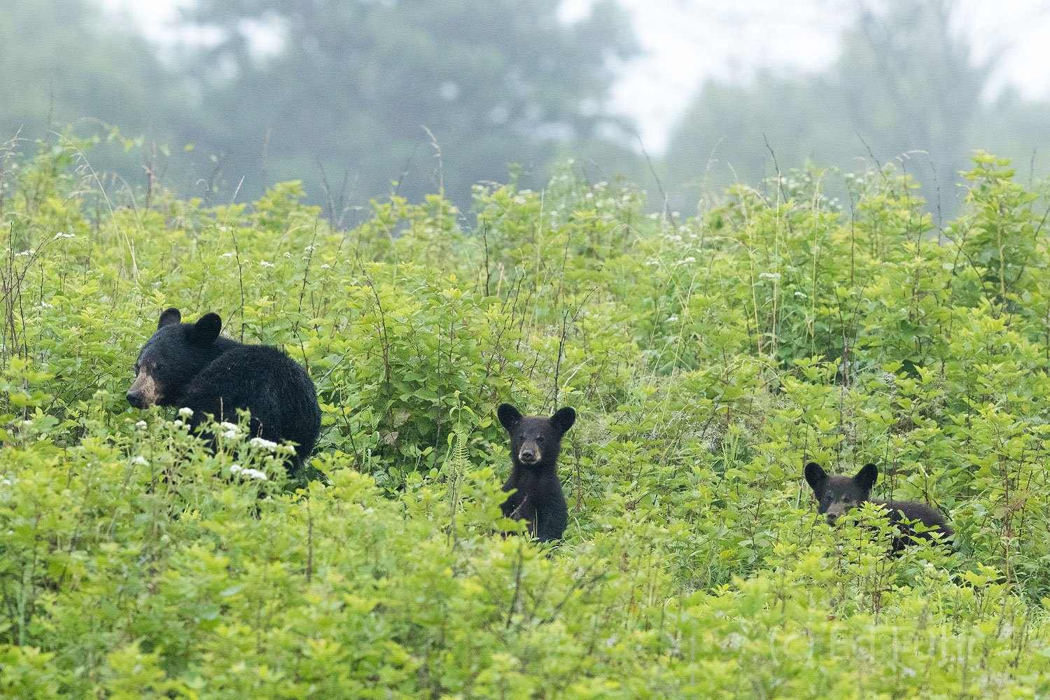 A family of three bears climb a hillside near Big Meadows.