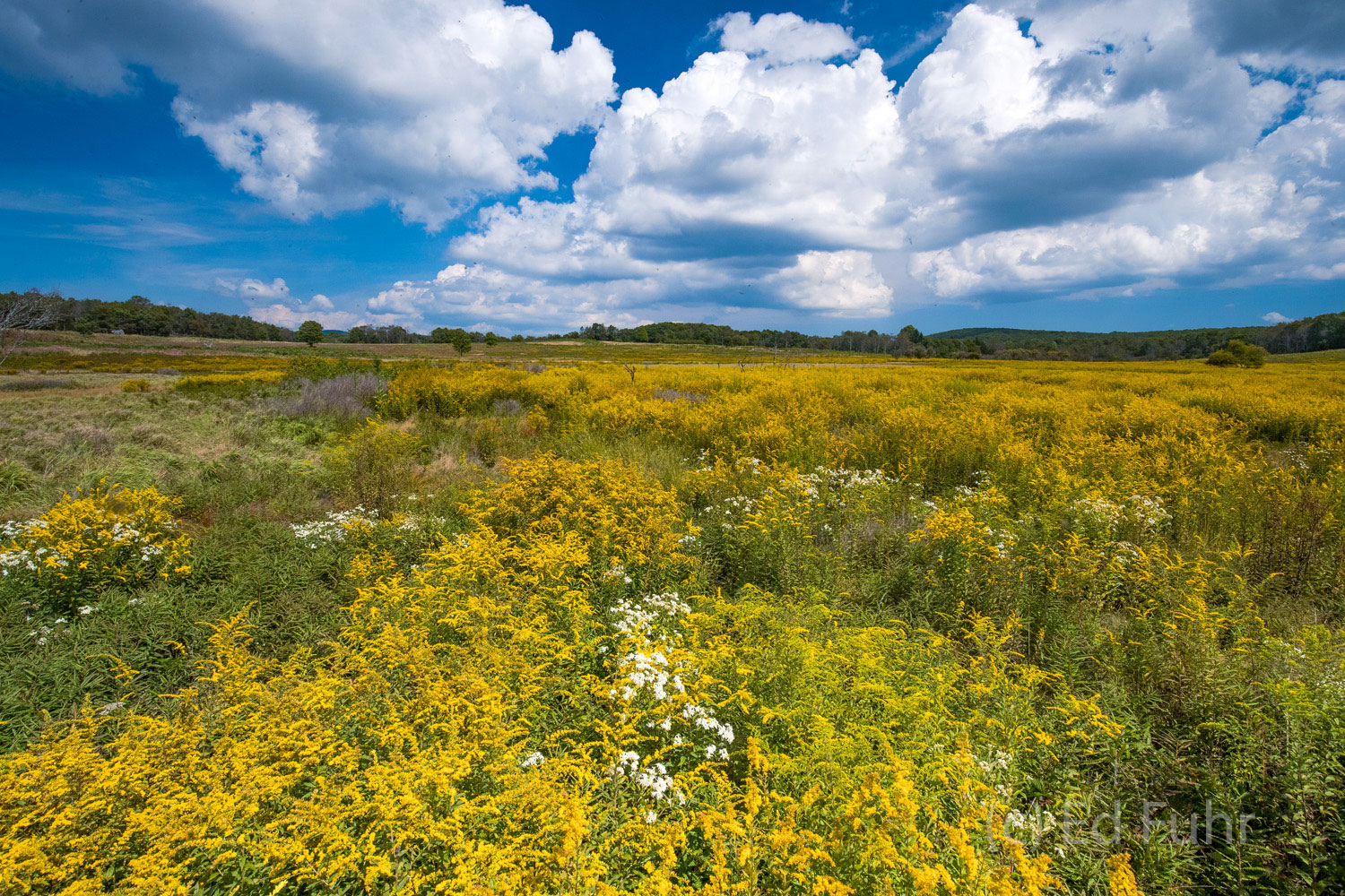 A  walk through a wild display of goldenrod in Big Meadows against blue skies, amidst a mild din from the thousands of bees and...