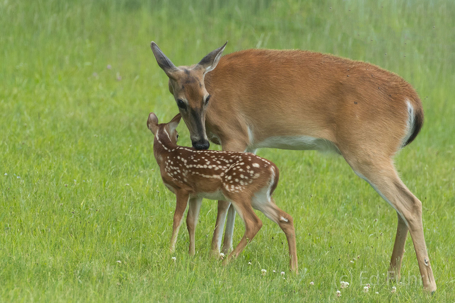 A does cleans her young fawn in Big Meadows, where deer frequently graze in the early hours of dawn.