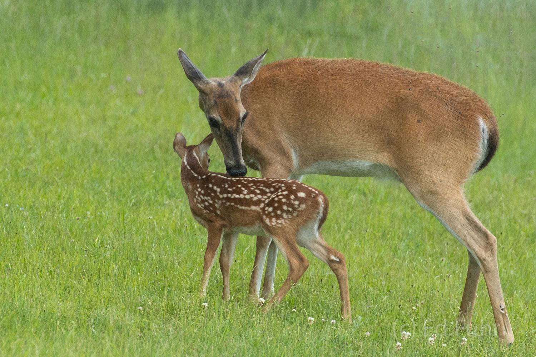 Shenandoah national park, image, photograph, deer, fawn, doe, big meadows, photo