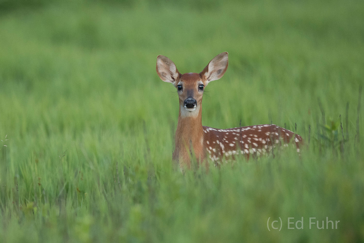 A fawn looks above the late spring grasses.