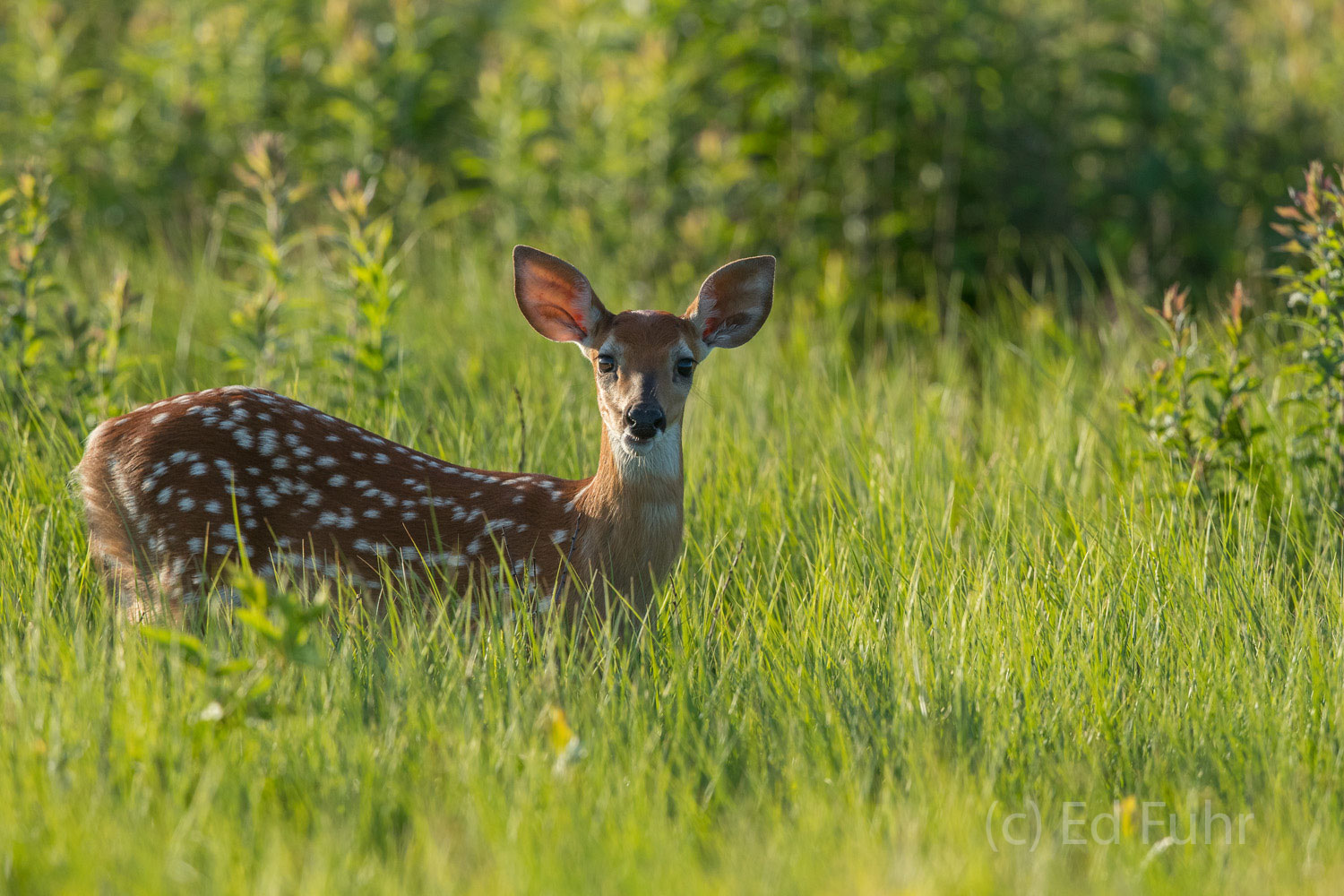 A fawn watches her mom intently.
