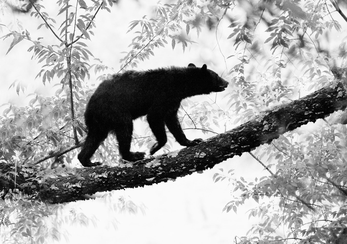 black bear, cub, cherry tree, summer, great smoky mountains, photograph, image, cades cove, photo