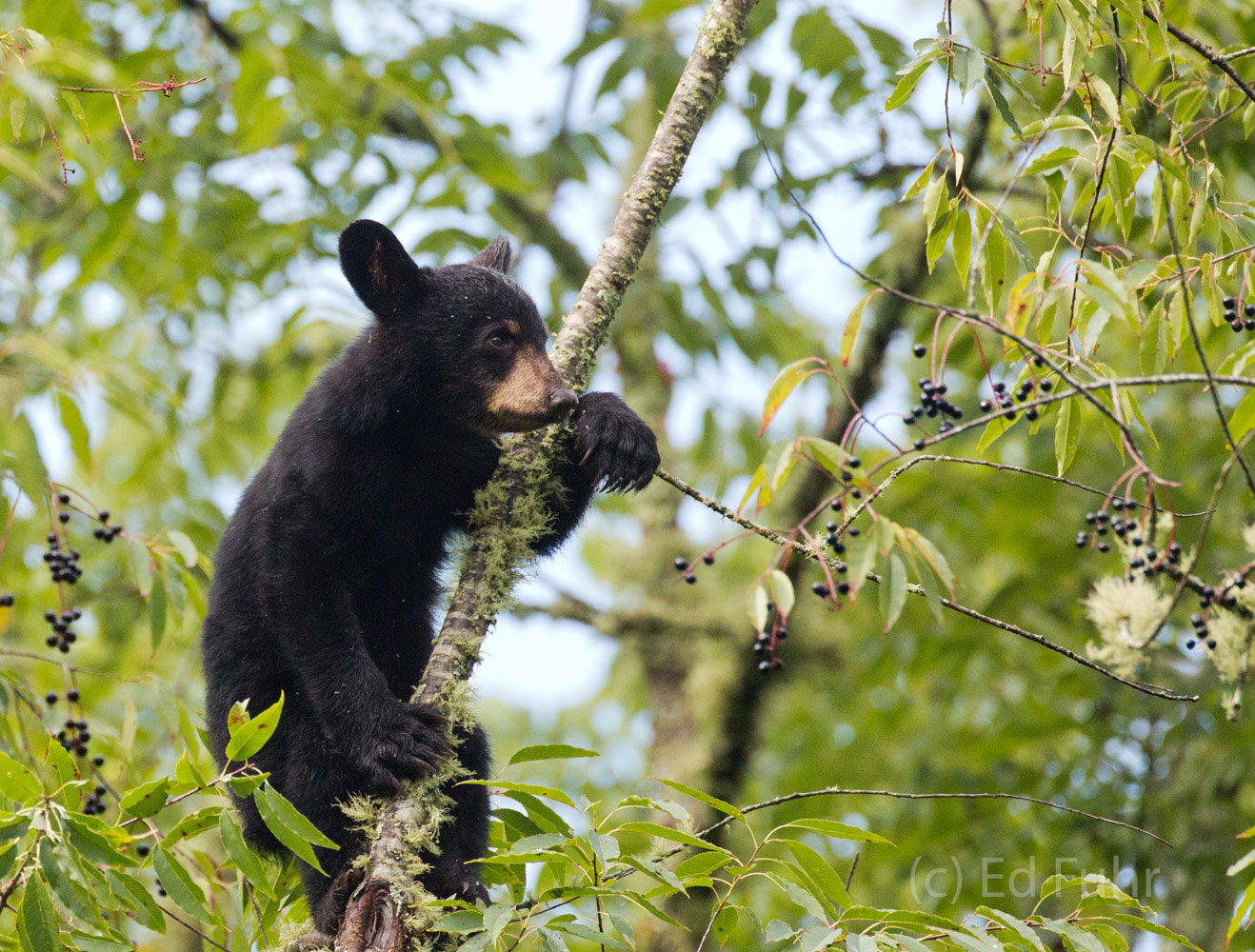 A black bear cub feasts on some cherries in Cades Cove.