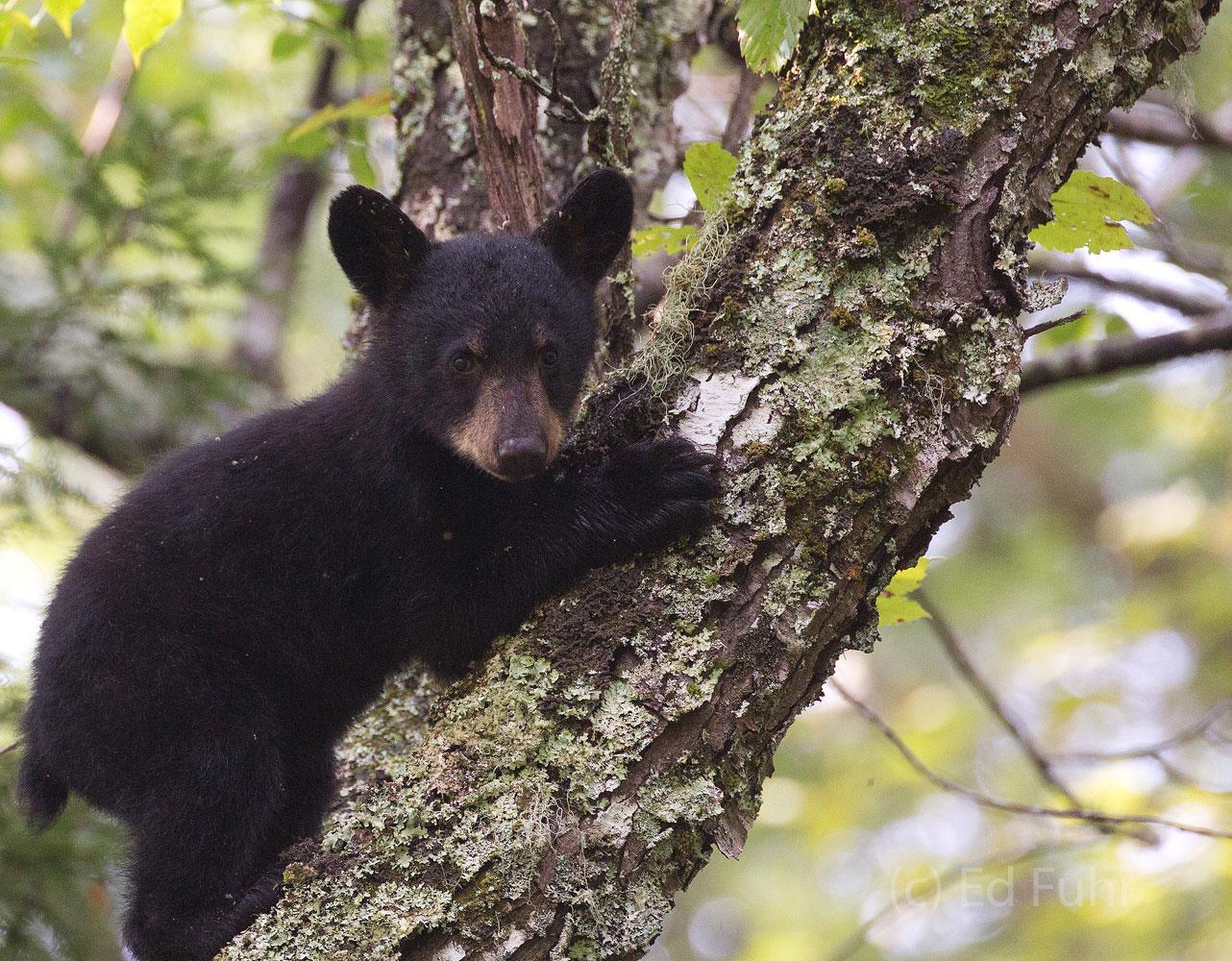 A black bear cub checks out a perch.